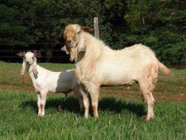 susu kambing etawa gmp nutri, jual susu kambing surabaya, 0856.4578